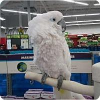 Adopt A Pet :: Angel - Shawnee Mission, KS