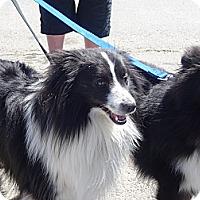 Adopt A Pet :: Silvo - Calgary, AB