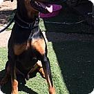 Adopt A Pet :: Dobie Gillis