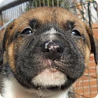 Adopt A Pet :: Baby Bradley - Oakley, CA