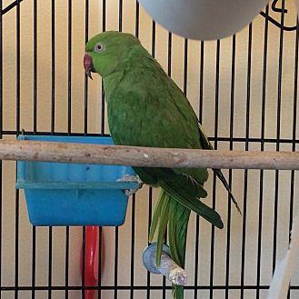 Parakeet - Other for adoption in Beach, North Dakota - Taya