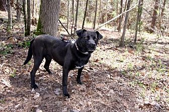 Labrador Retriever/Pit Bull Terrier Mix Dog for adoption in York, South Carolina - Alder