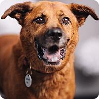 Adopt A Pet :: Foxy Floyd - Portland, OR