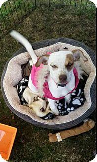 Blue Heeler Mix Puppy for adoption in Odessa, Texas - Buffy