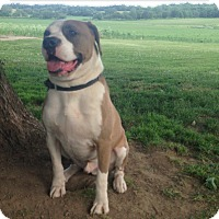 Boxer/Pit Bull Terrier Mix Dog for adoption in Otterbein, Indiana - Bernie