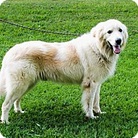Great Pyrenees Mix Dog for adoption in Brattleboro, Vermont - CHARLIE