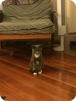 Domestic Shorthair Kitten for adoption in Los Angeles, California - Quattro *Funloving Foursome*