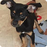 Miniature Pinscher/Italian Greyhound Mix Puppy for adoption in Flemington, New Jersey - Cody