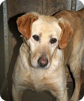Labrador Retriever Dog for adoption in Fort Madison, Iowa - Cutler