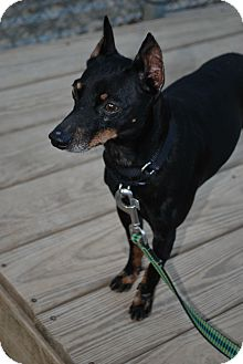 Miniature Pinscher Mix Dog for adoption in Berea, Ohio - JJ