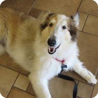 Collie Dog for adoption in Dublin, Ohio - SKYLER