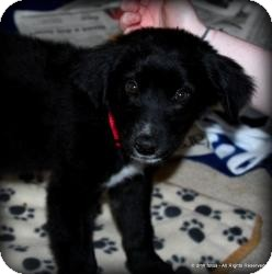 Australian Shepherd/Labrador Retriever Mix Puppy for adoption in Marlton, New Jersey - Baby Allie