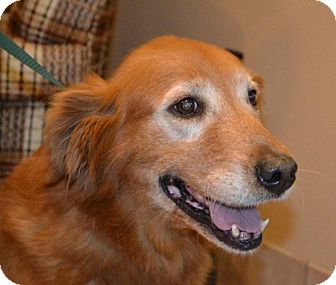 Golden Retriever Dog for adoption in Foster, Rhode Island - Ruby