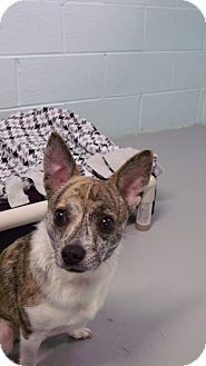 Chihuahua Mix Dog for adoption in Muskegon, Michigan - Tobey