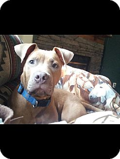 American Pit Bull Terrier Puppy for adoption in Woodlawn, Tennessee - Gunner