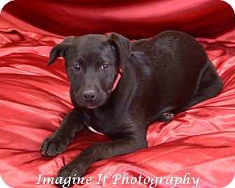 Terrier (Unknown Type, Medium)/Pit Bull Terrier Mix Dog for adoption in Blanchard, Oklahoma - Cleo