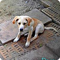 Adopt A Pet :: Dopey - Silsbee, TX