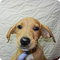 Adopt A Pet :: Bell - South Jersey, NJ