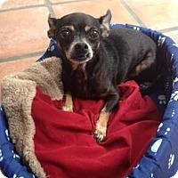 Chihuahua Dog for adoption in West Palm Beach, Florida - Lulu