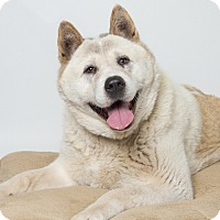 Akita Dog for adoption in Hayward, California - Lulu