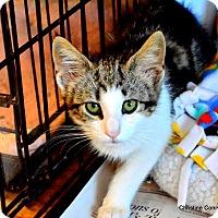 Adopt A Pet :: Maybeline - Island Park, NY