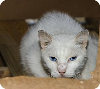 Domestic Shorthair Cat for adoption in BROOKSVILLE, Florida - Mr. Bianca