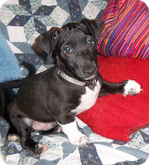 Virginia Beach, VA - Dachshund/Jack Russell Terrier Mix ...