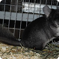 Adopt A Pet :: 3 mo black velvet F chinchilla - Hammond, IN