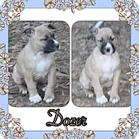 Adopt A Pet :: Dozer in CT - Manchester, CT