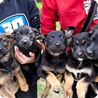 Adopt A Pet :: Lemon Puppies - Females - San Diego, CA