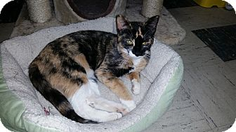 Domestic Shorthair Cat for adoption in Elyria, Ohio - Willow