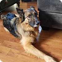 German Shepherd Dog Dog for adoption in San Diego, California - Maximus