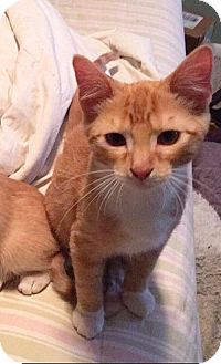 Domestic Shorthair Cat for adoption in West Des Moines, Iowa - Otis