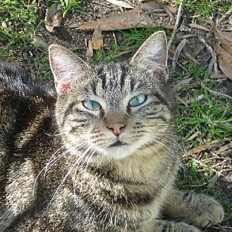 Domestic Shorthair Cat for adoption in Mobile, Alabama - Buster