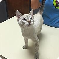 Siamese Cat for adoption in Baton Rouge, Louisiana - Snow  White
