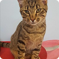 Domestic Shorthair Kitten for adoption in Circleville, Ohio - Minnow
