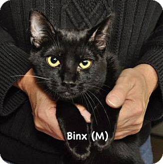 Domestic Shorthair Kitten for adoption in West Orange, New Jersey - Binx