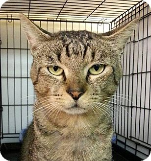 Domestic Shorthair Cat for adoption in Vancouver, British Columbia - Macjack