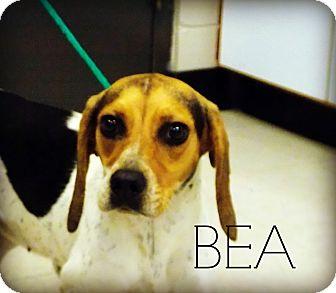 Beagle Dog for adoption in Defiance, Ohio - Bea