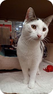 Domestic Shorthair Cat for adoption in West Dundee, Illinois - Houdini