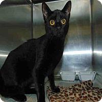 Adopt A Pet :: Midnight - St. Cloud, FL