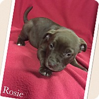 Adopt A Pet :: Rosie - Smithfield, NC