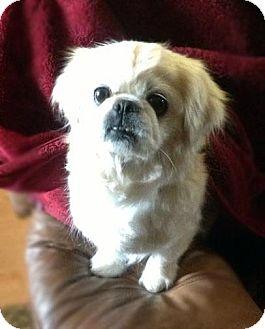 Pekingese Dog for adoption in Ogden, Utah - Zupa