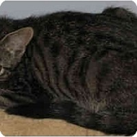 Domestic Shorthair Cat for adoption in Thibodaux, Louisiana - Jack