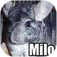 Adopt A Pet :: Milo - Virginia Beach, VA