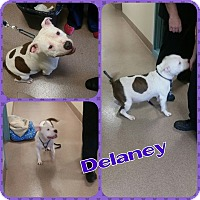 Adopt A Pet :: Delaney - bridgeport, CT
