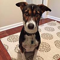 Adopt A Pet :: Tika*Indian Pariah Dog* - Monroe, NJ