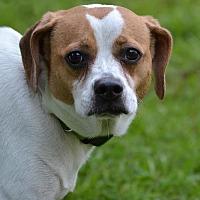 Pug/Beagle Mix Dog for adoption in Asheville, North Carolina - Fizzy