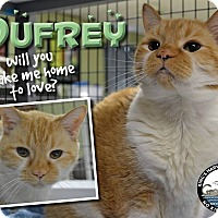 Domestic Shorthair Cat for adoption in Davenport, Iowa - Dufrey