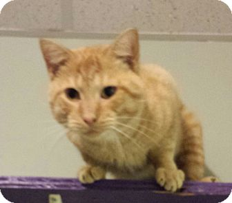Domestic Shorthair Cat for adoption in Walden, New York - Colonel